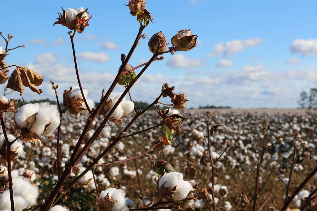 Is it better to choose organic cotton? 1
